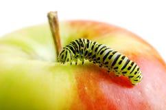 Green caterpillar on red apple Stock Image