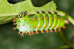 Green caterpillar with red thorns Royalty Free Stock Images