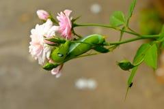 Green Caterpillar on rose pink. Caterpillar eat rose on background Royalty Free Stock Image