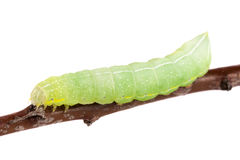 Green caterpillar on stick isolated on white background Royalty Free Stock Photo