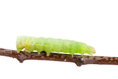 Green caterpillar on stick isolated on white background Royalty Free Stock Image