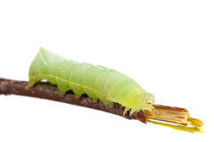 Green caterpillar on stick isolated on white background Royalty Free Stock Images