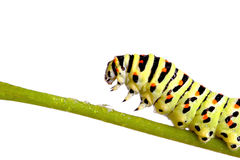 Green caterpillar of swallowtail Royalty Free Stock Photos