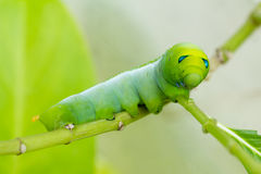 Green Caterpillar. On a tree Royalty Free Stock Photo