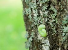 Green caterpillar on a tree Stock Photo