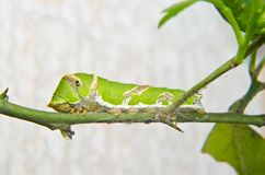 Green caterpillar on tree. With blurs background Royalty Free Stock Photos