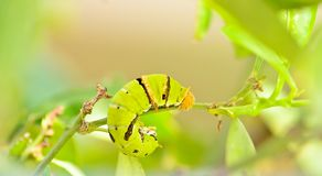 Green caterpillar on tree. In nature Stock Photos