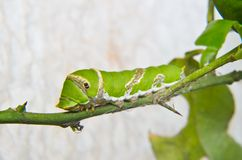 Green caterpillar on tree. In nature Stock Photography