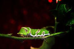 Green caterpillar on tree. In nature Royalty Free Stock Photos