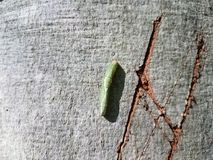 Green caterpillar on tree trunk Stock Photography