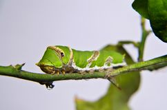 Green caterpillar on tree. On white background Stock Photography