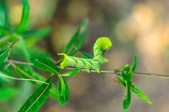Green caterpillar on treetop. Green worm Royalty Free Stock Photos