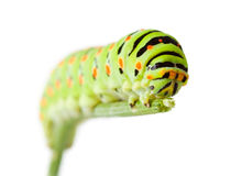 Green caterpillar on twig Stock Photo