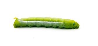 Green Caterpillar on white background Royalty Free Stock Photo