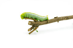 Green Caterpillar on white background Stock Photos
