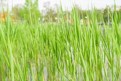 Green cattail texture at the beach Royalty Free Stock Image
