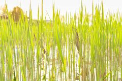 Green cattail texture in the sunset Royalty Free Stock Photos