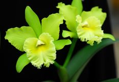 Green Cattleya orchid flower Royalty Free Stock Photo