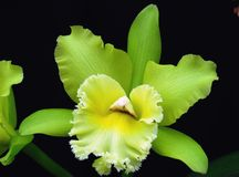 Green Cattleya orchid flower Stock Image