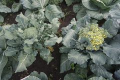 Cauliflower on the garden stock photos