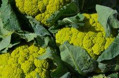 Green cauliflower Stock Image