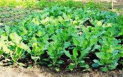 Green cauliflower plant stock image