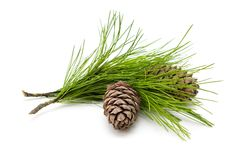 Green cedar branch with cones on white isolated Stock Photo