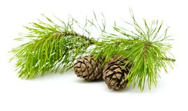 Green cedar branch with cones on white isolated Royalty Free Stock Photo