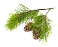 Green cedar branch with cones on white isolated Royalty Free Stock Images