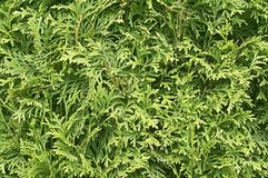 Green cedar tree. Background texture close up stock photography