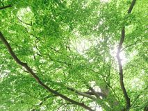 Green ceiling. Leaves and branches with sun shining Stock Image