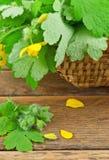 Green celandine Royalty Free Stock Image