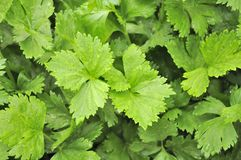 Green Celery Growing On Vegetable Patch Royalty Free Stock Images