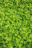 Green celery in growth Stock Image