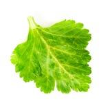 Green celery leaf Stock Photos