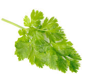 Green Celery Leaves Isolated on White Background Stock Photos