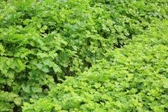 Green celery plant Royalty Free Stock Photos