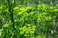 Green celery seed Royalty Free Stock Images