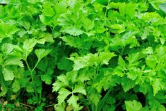 Green celery at vegetable garden Stock Images