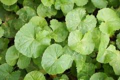 Green Centella asiatica leaves in nature garden. Fresh green Centella asiatica leaves in nature garden Stock Photo
