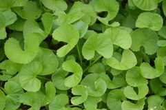 Green Centella asiatica plant in nature garden Royalty Free Stock Images