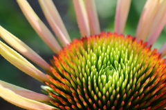 Green centered cone flower. Cone flower with green base and peach color petals Stock Image