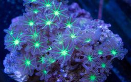 Green and White Clove Polyp Coral Colony stock photography
