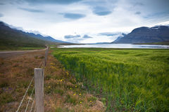 Green Cereal Field at Eastern Iceland Royalty Free Stock Images