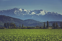Green cereal field and mountains Royalty Free Stock Photos