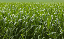 Green cereal field after rain Royalty Free Stock Image