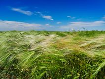 Green cereal field in summer Royalty Free Stock Photography