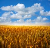 Green cereal fields under blue sky royalty free stock photography