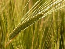 Green cereal grain