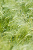 Green cereal. On a grain field in spring Stock Images